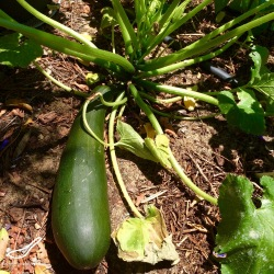 Zucchini growing in the garden